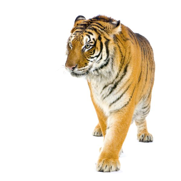 Tiger Walking in White Background