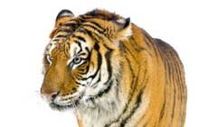 Tiger_Walking_In_Front_Of_A_White_Background_220