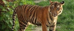 Tiger_communication