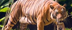 Tiger_conservation