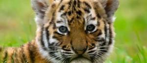Tiger_evolution