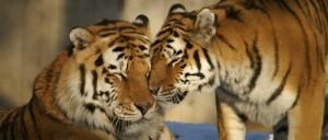 Tiger_reproduction