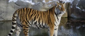 Tiger_research