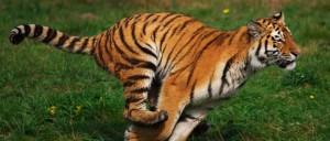 Tiger_running
