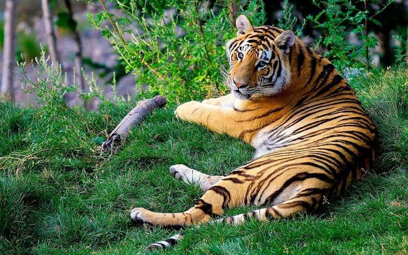 Información sobre el tigre de Bengala.