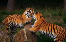 Young siberian tigers playing