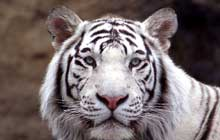 White tiger close-up