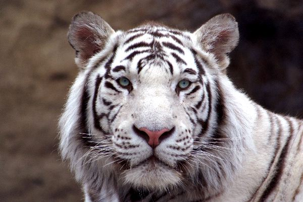 White tiger close up face - photo#8