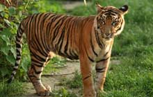 Young sumatran tiger