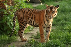 Young_Sumatran_Tiger_600
