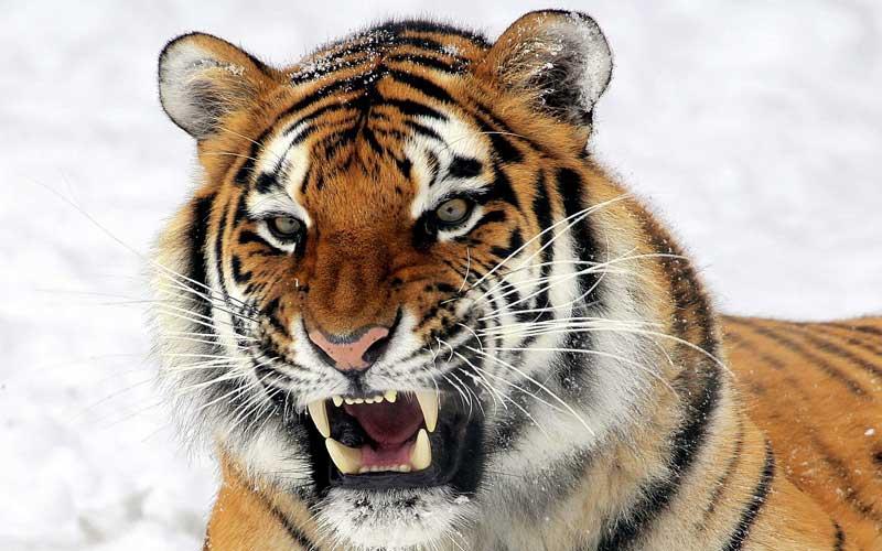 Alimentación de los Tigres