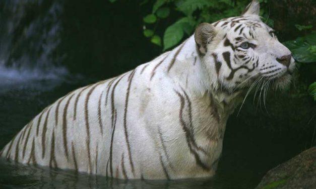 Anatomía de los Tigres