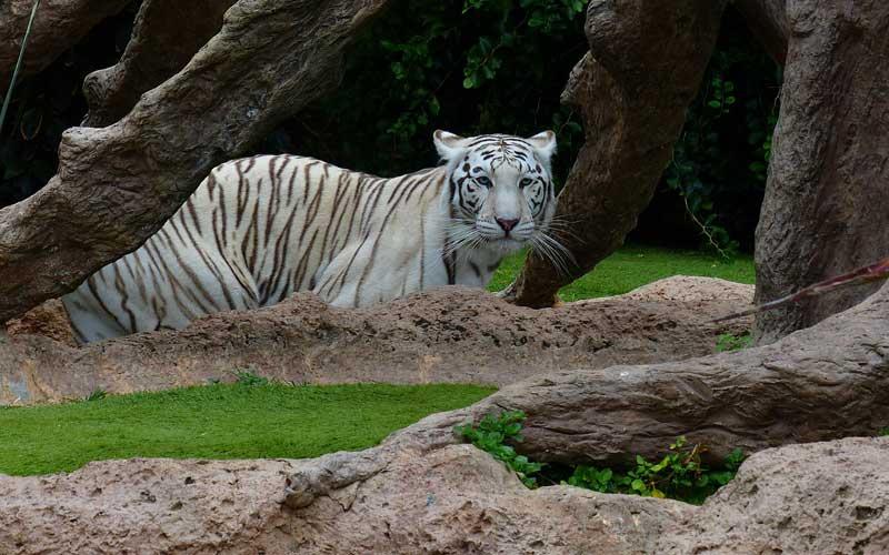 Tigres en zoológicos.