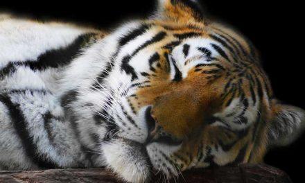 Caza de Tigres