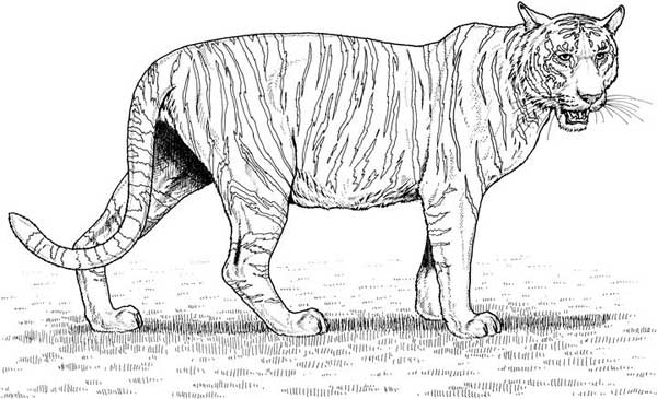 tiger coloring page tiger facts and information