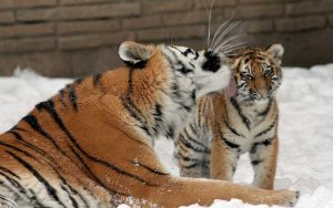 Save the tiger.