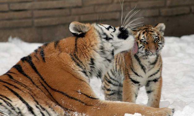 Tiger Conservation Efforts