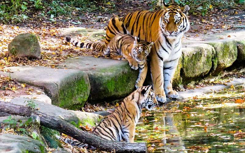 Apareamiento de los tigres.