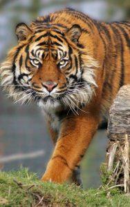 Curiosidades sobre los tigres.