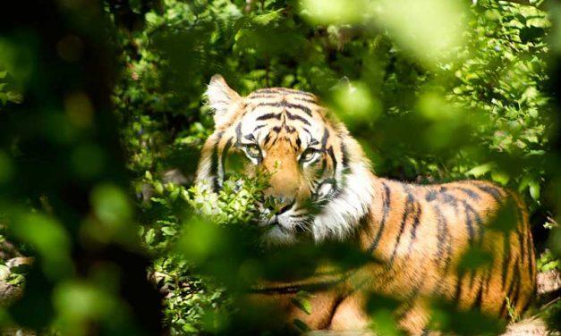 Datos sobre los Tigres