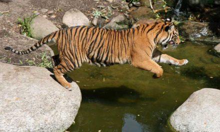 Depredadores de los Tigres