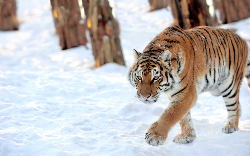 Entorno natural de los tigres.