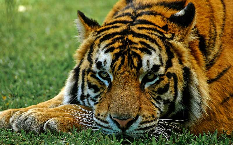 Y Tigers Are Endangered Tigers Endangered - Ti...