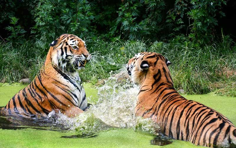 Jerarquías sociales entre los tigres.