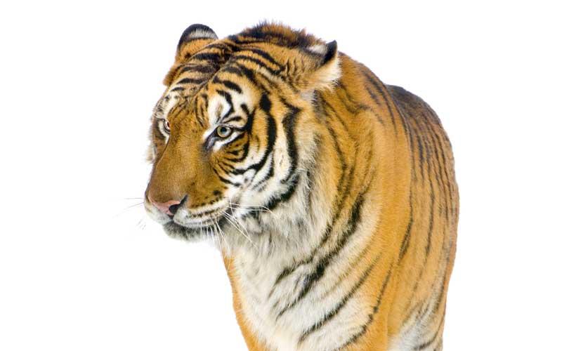 Evolución de los Tigres