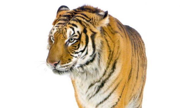 Tiger Evolution