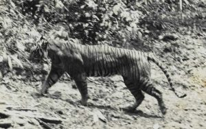 Extinct tigers species.