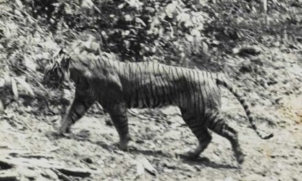Extinct Tiger Species