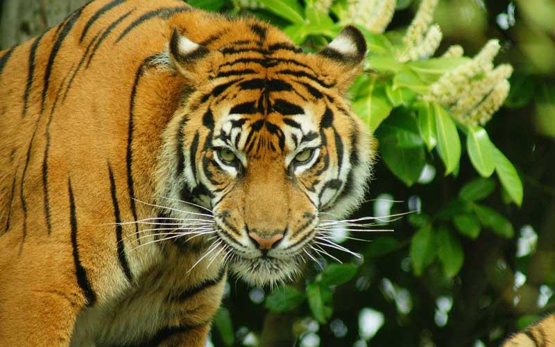 Formas de comunicación de los tigres.