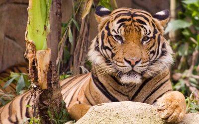 Tiger Distribution and Habitat