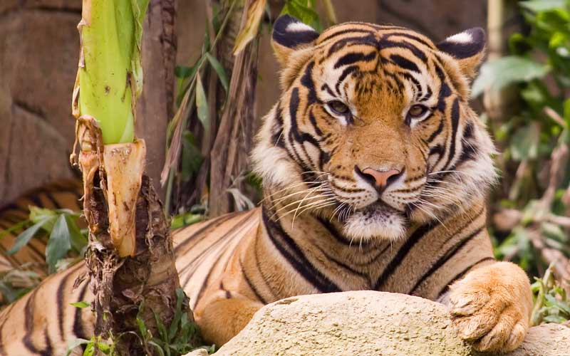 Tiger Distribution And Habitat Tiger Facts And Information