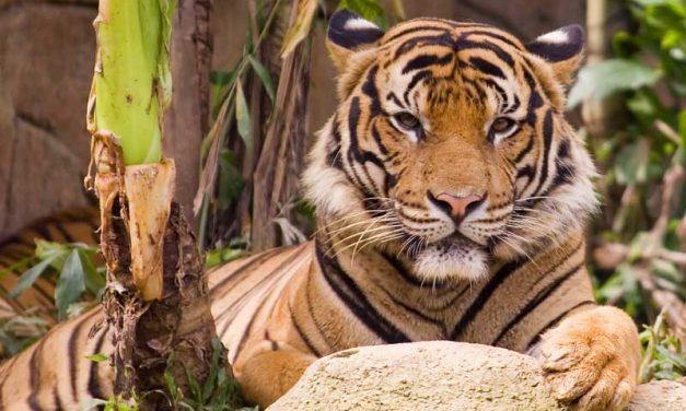 Distribución y Hábitat de los Tigres