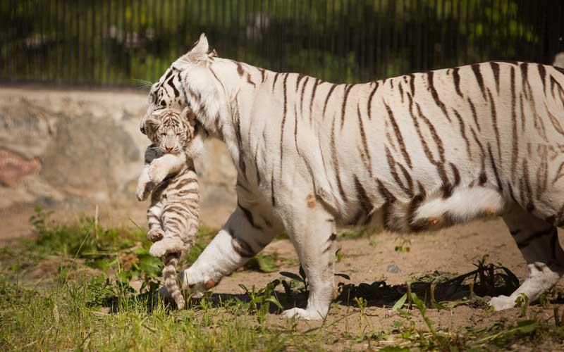 Hábitos reproductivos de los tigres.