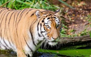 Panthera tigris corbetti.