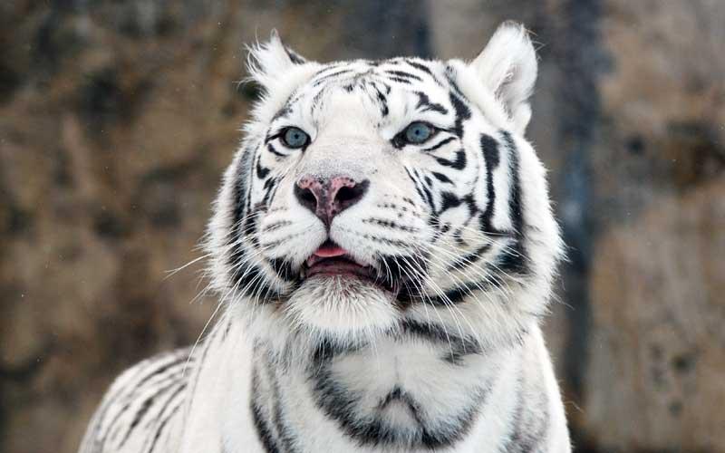 Investigaciones sobre Tigres