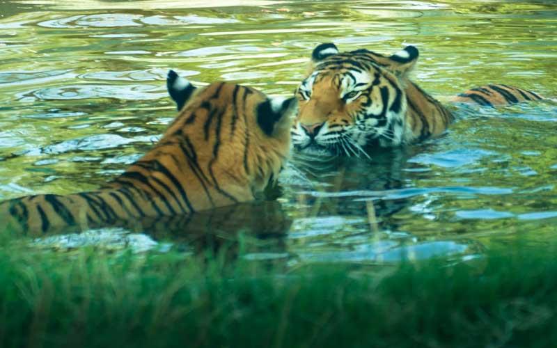 Estructura Social de los Tigres