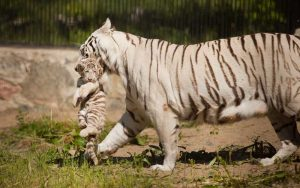 Reproductive habits of tigers.