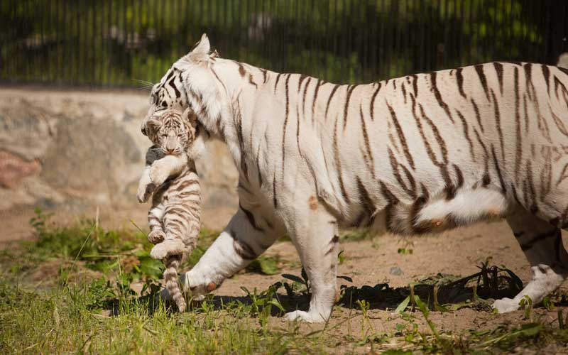 Breeding habits of tigers.