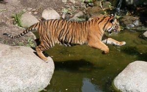 Natural predators of tigers.