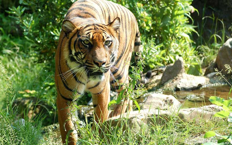Tiger distribution.