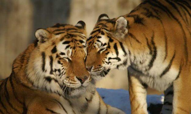 Reproducción de los Tigres