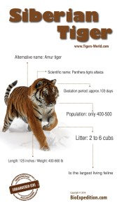 Amur tiger infographic