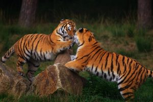 Two playing Siberian Tigers in front of a dark forest