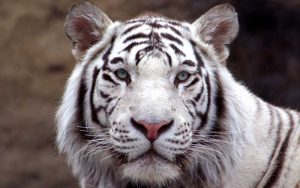 Tiger subspecies.