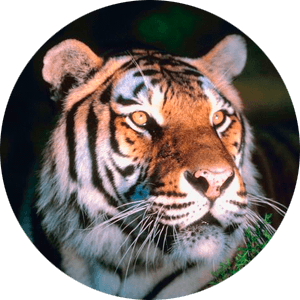 tiger-cicle3