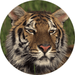 tiger-circle-150